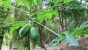 Papaya fruit ripening on the tree. On a sunny summer day, Vietnam stock video