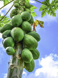 Papaya fruit on tree Stock Image