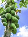 Papaya fruit on tree. Green papaya fruit hanging in a bunch on tree with blue sky backdrop stock image