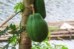 Papaya fruit on the tree Royalty Free Stock Photos