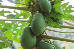 Papaya fruit on the tree Royalty Free Stock Photo