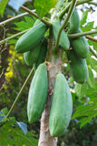 Papaya fruit on the tree Stock Image