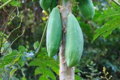 Papaya fruit on the tree Stock Photo