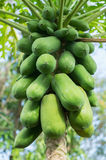 Papaya fruit on tree Royalty Free Stock Images