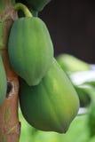 Papaya Fruit on Tree Stock Images