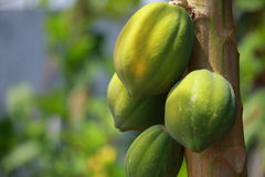 Papaya Fruit on Tree Stock Image