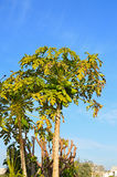 Papaya Fruit Tree stock photos