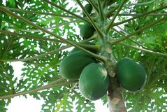 Papaya fruit on the tree. In the garden royalty free stock photography