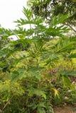 Papaya fruit tree Stock Image