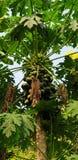 Papaya tree. Papaya fruit in the tree royalty free stock photography