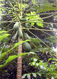 Papaya fruit on tree, Thailand Stock Photos