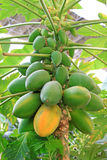 Papaya fruit on the trees in a modern plantation stock photo