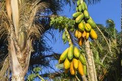 Papaya Fruit Trees Stock Photos