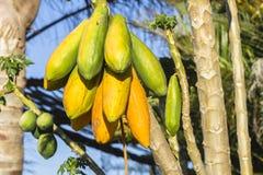 Papaya Fruit Trees Royalty Free Stock Photography