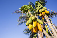 Papaya Fruit Trees Royalty Free Stock Photo