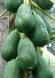 Papaya fruits Royalty Free Stock Photos