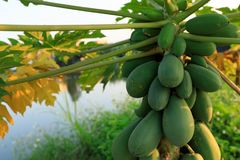Papaya fruits in growth on the tree Royalty Free Stock Photography