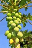 Papaya fruits Latin name Carica papaya Stock Photography