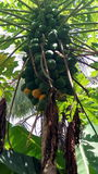 Papaya fruits. Vegetable, trees, leaves,garden, agriculture, food,nutrition Stock Images