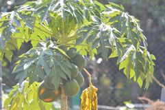 Papaya Tree. A Papaya at a  garden Royalty Free Stock Photography