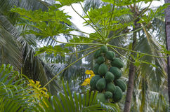Papaya green fruit tropical Royalty Free Stock Image