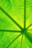 Papaya green leaf Royalty Free Stock Image