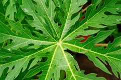 Papaya green leaf Royalty Free Stock Photo