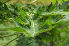 Papaya green leave Stock Images