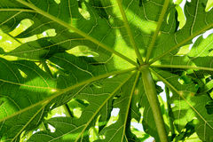 Papaya green leaves background, close up view from below with light and shadow Royalty Free Stock Photos