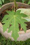 Papaya green leaves background, papaya fruit Royalty Free Stock Image