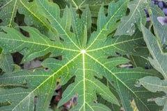 papaya green leaves Royalty Free Stock Images