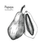 Papaya hand drawing vintage style. Clip art isolated on white background Stock Image