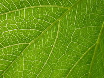 Papaya leaf Royalty Free Stock Photography
