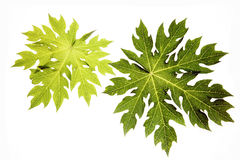 Papaya leaf Stock Photos