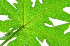 Papaya leaf. Close up in papaya leaf Royalty Free Stock Photos