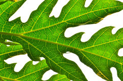 Papaya Leaf Royalty Free Stock Image