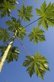 Papaya leaf Stock Images