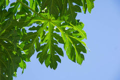 Papaya leaf. Closed up papaya leaf pattern and blue background stock photos