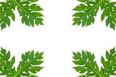 Papaya leaf frame isolated on white. Stock Photos