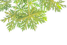 Papaya leaf. Green papaya leaf on a white background Royalty Free Stock Photography