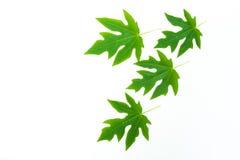 Papaya Leaf isolated Stock Photo