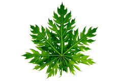 Papaya leaf isolated Stock Photos