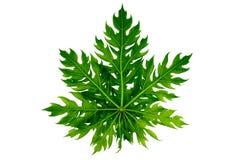 Papaya leaf isolated. On white background Stock Photos