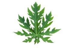 Papaya Leaf isolated Stock Images