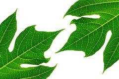Papaya leaf isolated on white background. Royalty Free Stock Photos