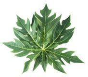 Papaya leaf isolated on white. Close up papaya leaf isolated on white Stock Image