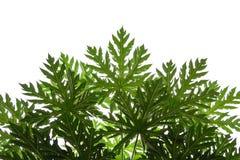Papaya leaf on isoleted white background Stock Photography