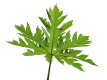 Papaya Leaf Royalty Free Stock Photo