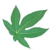 Papaya Leaf Stock Photo