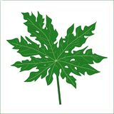Papaya leaf  Stock Photo